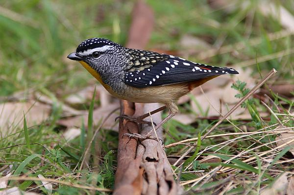 Another spotted pardalote. These little guys are amazing, and stunning to look at. #WildOz #Grampians @ParksVictoria http://t.co/dyquqqmowN