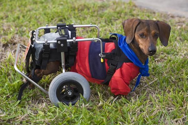 Hans, is a therapy dog and does his rounds twice a week at Florida Hospital. #NationalDogDay http://t.co/jUSmy7H8Go