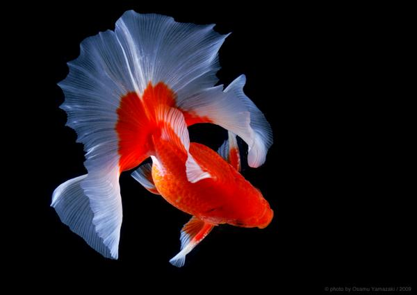 土佐錦魚(とさきん)。これは広島の飼育家さんのところまで撮りに行った。この方の作る土佐錦魚は日本一だと思ってる。 http://t.co/hx9exulBDZ