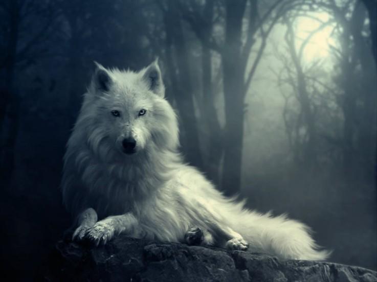 Fra mega Bilde av ulv! :) | Merethe's lille verden! FI-59