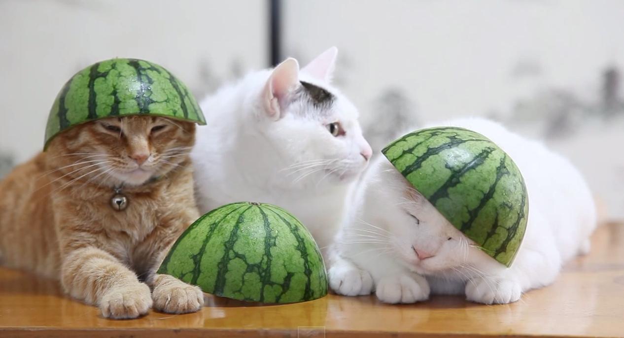 Картинка кота с арбузом на голове