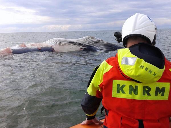 Weer een dode walvis voor de kust
