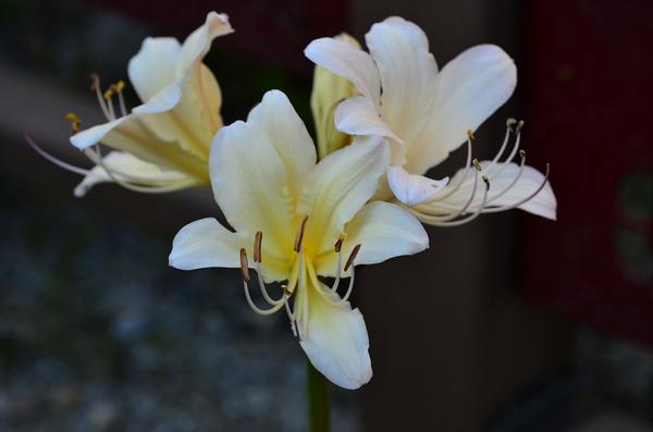 @constellayoom 위도상화랍니다. 위도에서 발견되었지요. 봄에 잎이 돋아 유월에 시들고 팔월 말이면 꽃만 피지요. 상사화는 꽃과 잎이 만나지 못해 서로 그리워한다고 상사화라 한다네요. http://t.co/PAjc1uDGMu