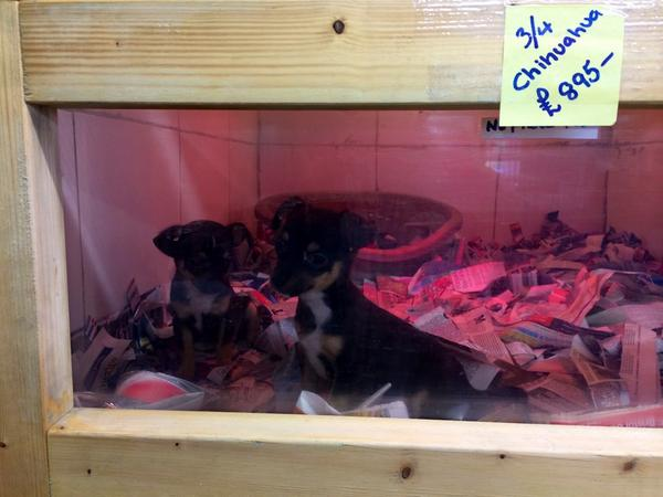 Pup Aid 2019 On Twitter Puppies For Sale In Uk Pet Shop In 2014