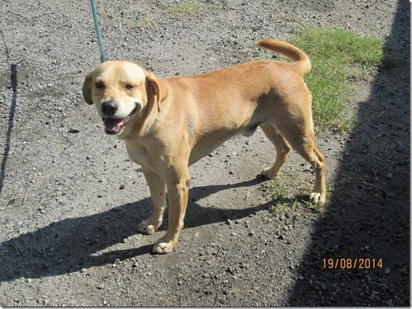 PLEASE RT! This dog will be put down TMRW if not saved by tonight. 2yrs old, NO aggression, heartworm free, lab-mix http://t.co/LxGzKJxtce