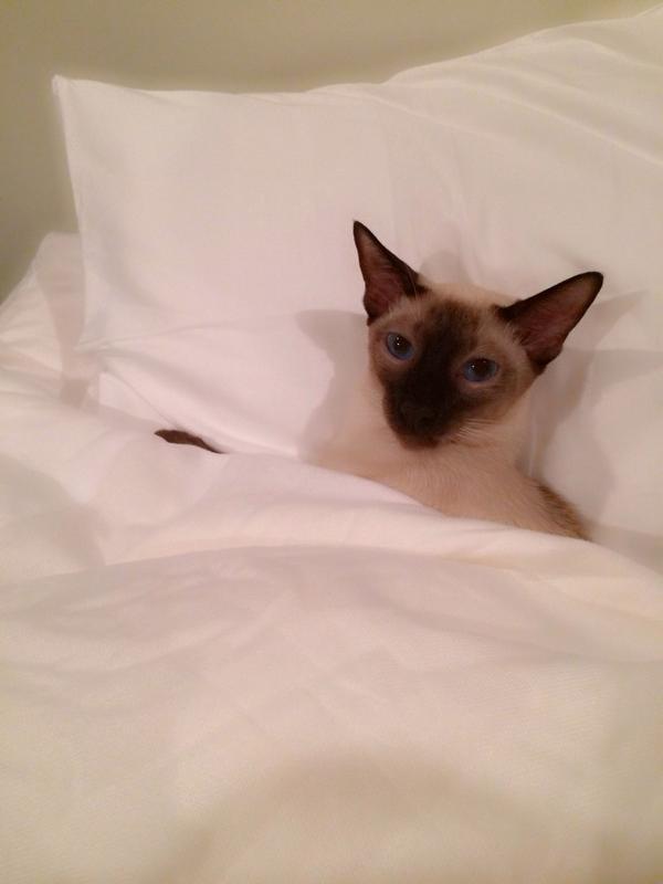 猫なのにちゃんとベッドに入って寝てるロジャー❤︎可愛すぎる pic.twitter.com/JjmKNvHJVH