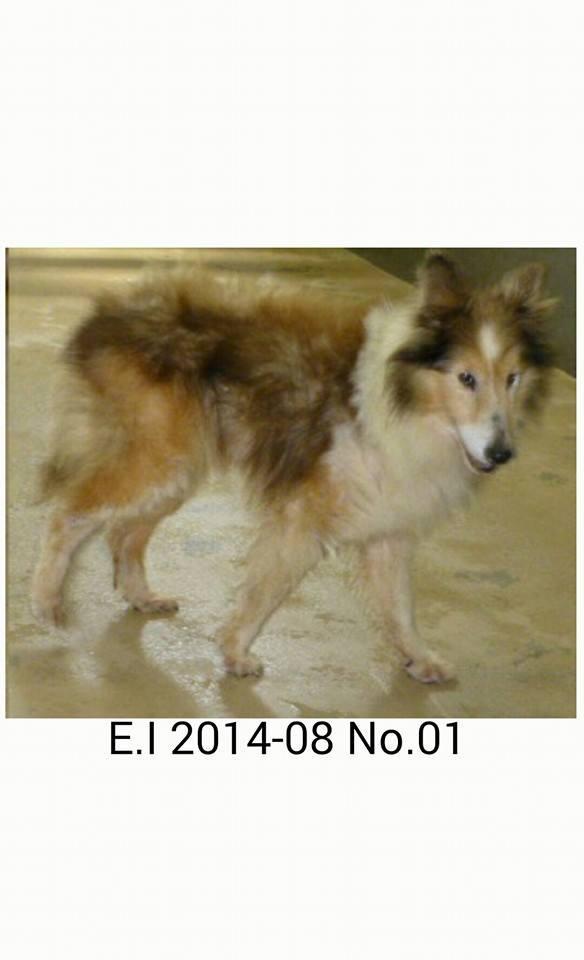"""""""@FoxTwoThree: 愛媛県動物愛護センター  飼い主さんが見つからないときのために里親さんも募集します 保護期限が過ぎたら殺処分されます 保護期限8月28日 http://t.co/dBZJDKS9G1 http://t.co/kO9DhRZmqH"""" #緊急拡散 #犬"""