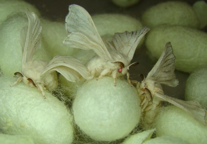 米国のKBL社は、蚕にクモの遺伝子を導入し、「スーパー繊維」であるクモの糸とほぼ同じ性質を持った「モンスターシルク」の商品化に近づいたという。(先月の記事) http://t.co/g1DH7E3FW0 http://t.co/HM8z7j8OJC