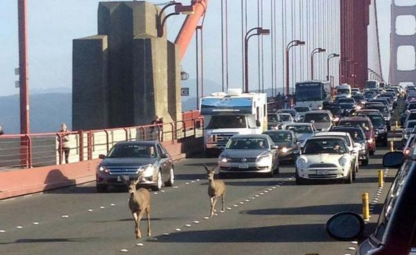 Photo of the two deer that stopped traffic on Golden Gate Bridge during Friday commute. http://t.co/hjBHs2BMCs