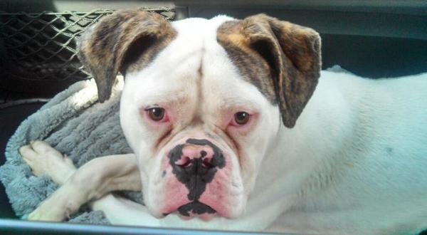 Amer  Bulldog Rescue on Twitter: