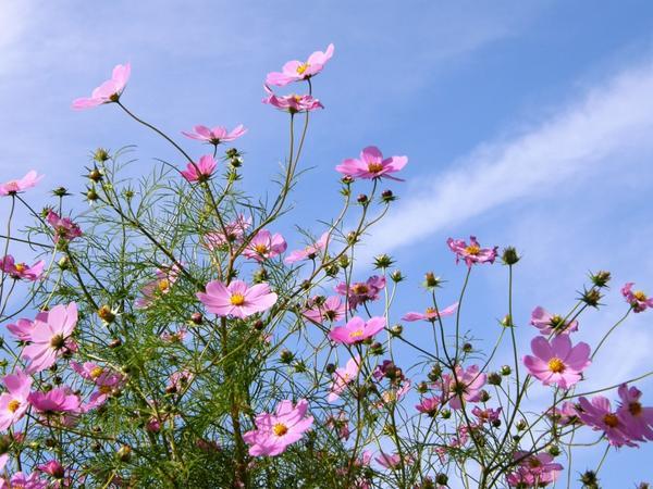 コスモスの花 http://t.co/J0ZZUOKCip