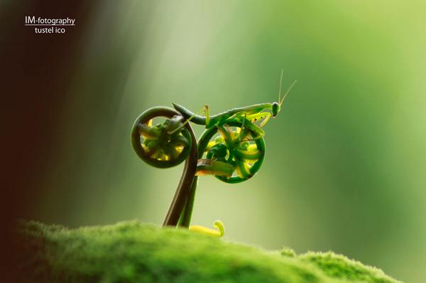 #cycling Praying Mantis ...#photography by Tustel Ico https://t.co/YqrLGyg0bB #LeTour2015 #nature #photography #art
