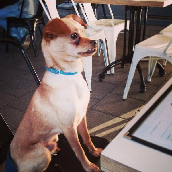 זקוק לכל שיתוף - הכלב המדהים שלי, האור של הבית שלי ברח מחצר הבית היום ב-12:30 חייב למצוא את צ'ופי http://t.co/LiS6lnUF19
