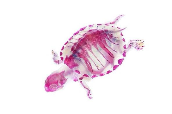 Stunning day-glo photographs show the hidden insides of sea creatures: http://t.co/B6LirtnitM (via @FastCoExist) http://t.co/2QRyqyeEWA