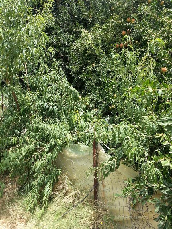 صورمن مزرعة العم/ الحسين بن عبدالرزاق الشوقبي 1435 BwT49p9CIAAshNA