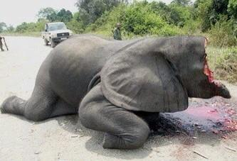 El 20% de los Elefantes Africanos (unos 100.000) muertos en 3 años http://t.co/zhEJlIQ1TB @isaacBIOvega @DOMINGUEZLM http://t.co/ilq1yji7kN