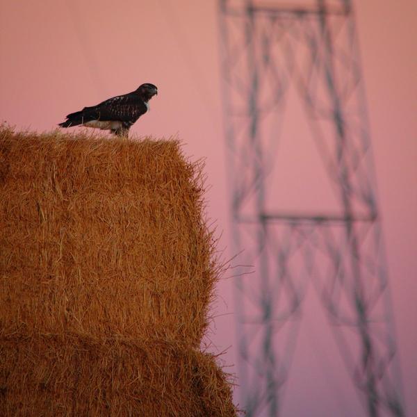 Hay bales and hawks...#yolocounty #wildag http://t.co/2Rkp2r15YK