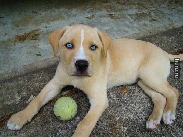 лабрадор черный щенок метис фото