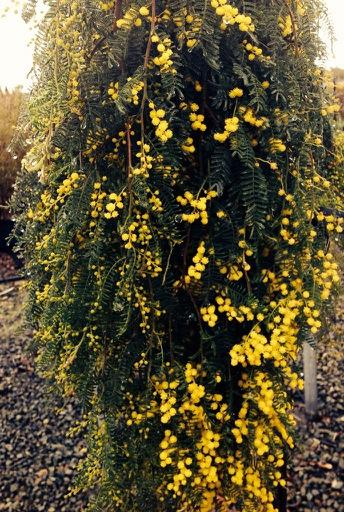 Botanix Plant Supply On Twitter Happy Wattle Day Acacia