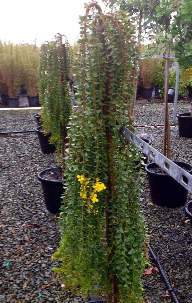 Botanix Plant Supply On Twitter Another Wattleday Pic Acacia
