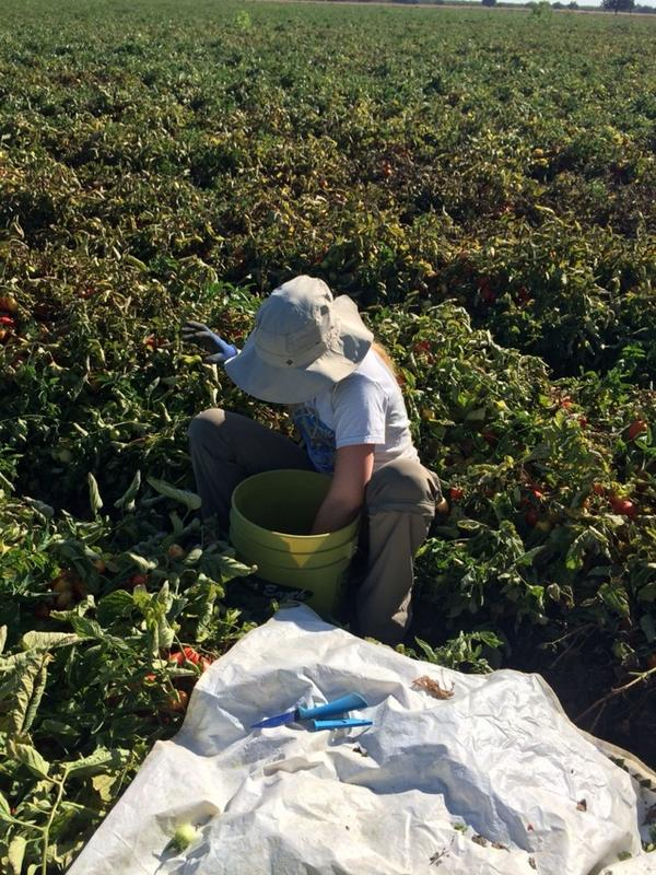 Harvesting our last #tomato field today! Here's intern Sara Remmes counting tomatoes http://t.co/W0VfbHtOZG