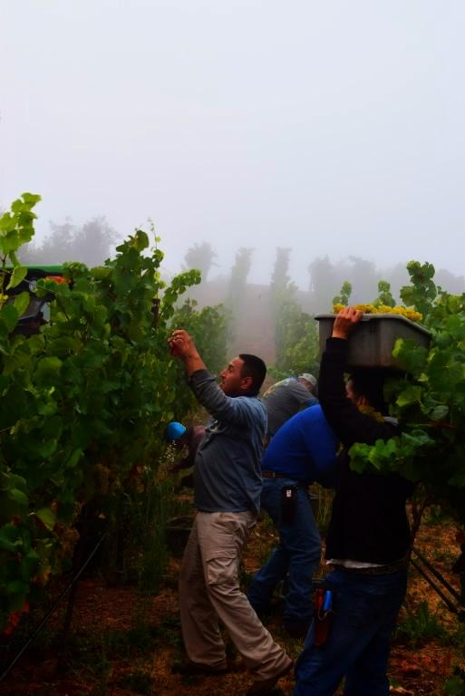 Photo of the week: Taking advantage of the cool morning fog at Stagecoach Vineyard on Atlas Peak