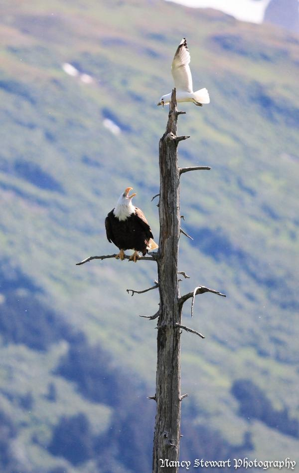 This seagull was picking on this eagle but the eagle didn't give up his perch.  #eagle #alaska #nature #photography http://t.co/IJwv83elCN