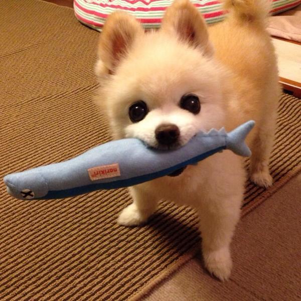 #wanko 今夜は秋刀魚に決まり‼︎ pic.twitter.com/1QGrPNYjsa