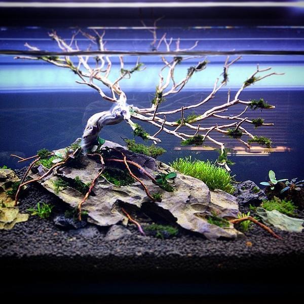 Akvaristan Aquarium Akvaryum Aquarien New Mr Aqua Bookshelf Shrimp Tank Scape Shrimpscape Benibac Pictwitter Dm45AL1FCD