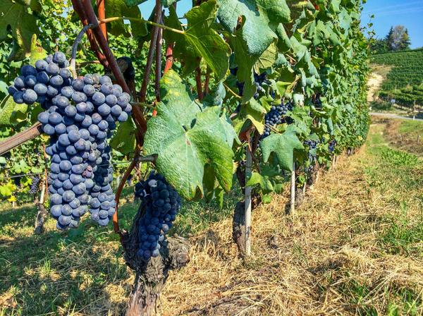 Just arrived in Alba, what a beautiful day.  The Nebbiolo grapes are looking good, a few weeks to go till harvest. http://t.co/zuHR1NwO09