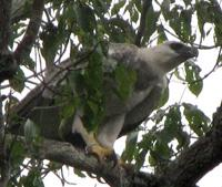 I got to see a Harpy Eagle in the #Amazon Rainforest! THE king predator & largest raptor in world #IAmANaturalist http://t.co/OIwE40mijF