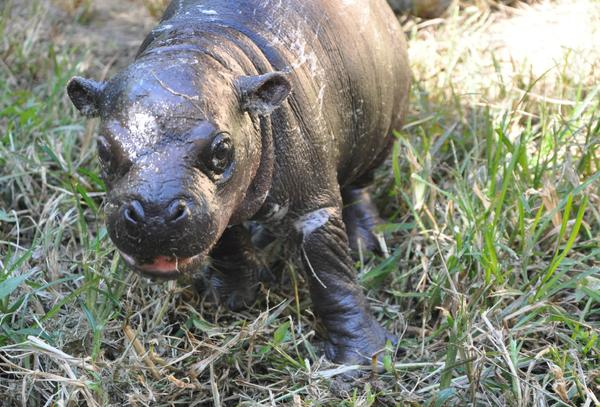 "It's a boy! baby pygmy hippo - not on exhibit or named yet. Stay tuned, but feel free to RT and say ""awww"" out loud. http://t.co/cL2EFaeONX"