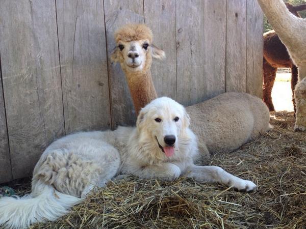 Morning Beckons Farm Alpacajulie Twitter