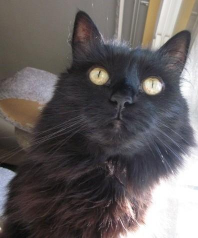 """""""@indulgedfurries: Black cats take awesome selfies. dispel the myth & post your #blackCatSelfie http://t.co/ZZyzi6aAGo"""" #CPBlackCats 30/10"""