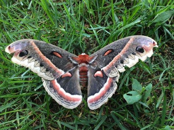 Wow!!! RT @benshar1234: Pretty #moth in my backyard http://t.co/TfCaFQOWPu