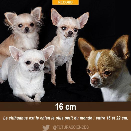 Le Chihuahua Est Le Plus Petit Chien Du Monde Et Vous Quel Est