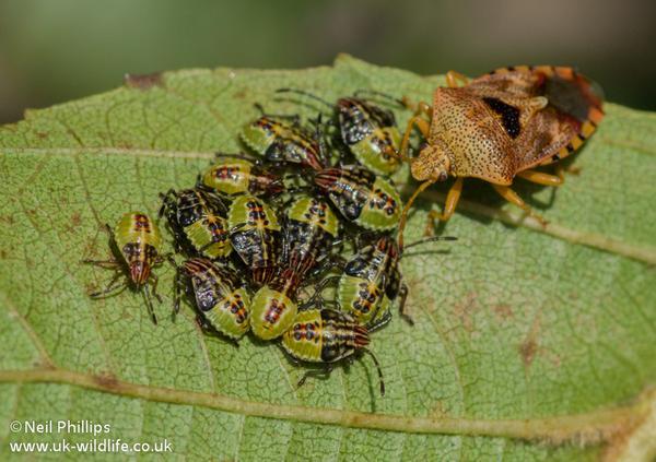 Parent bug guarding its young at @WatTylerCP @Buzz_dont_tweet http://t.co/YvN1wKl2E1 @UK_Wildlife