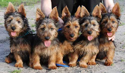 Australian terrier level:- Five. http://t.co/9c5nYPiyqT
