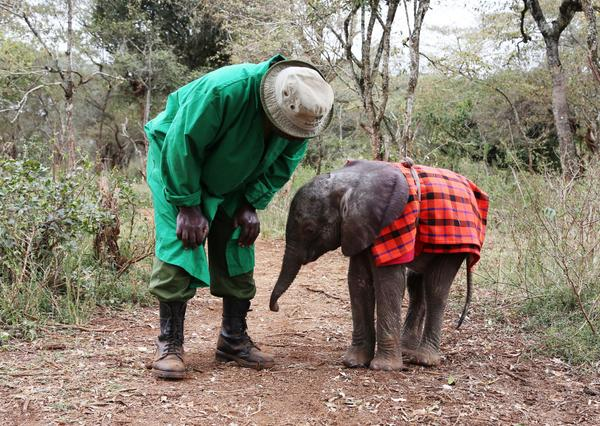 The tiniest baby #elephant in our care is thriving thanks to generous supporters! Thank you for caring for Ndotto http://t.co/nnG1UElTNR