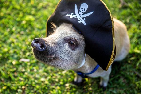 海賊姿の豚の赤ちゃん
