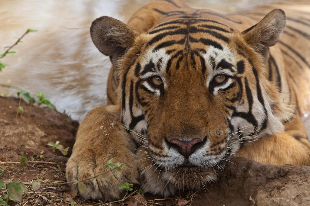 Make maintaining wild tiger populations across Asia achievable. Donate today http://t.co/9UapnvWuMQ http://t.co/IZIHM2tEK3 @TigerTimeNow