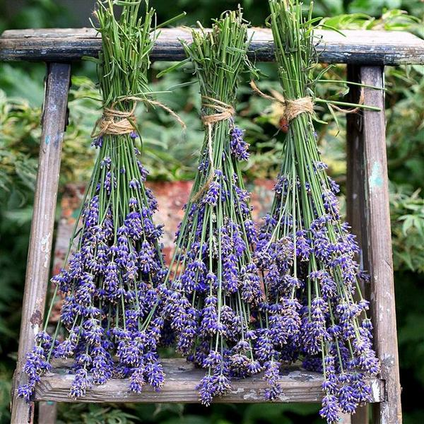 Fall Traditions:  Drying your Herbs and Lavender!  @Garden_Therapy http://t.co/SfDjaZUvrw http://t.co/APriRn87ID