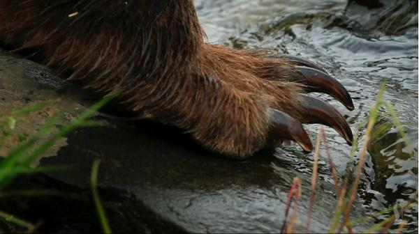 Bear claws! Take a #deskvacation to Alaska and watch bears fishing for salmon: http://t.co/goZ6tLDQee http://t.co/4luGFUnbvE