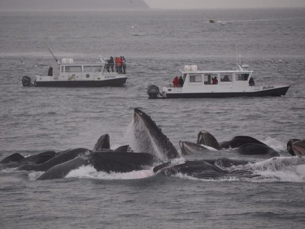 #IAmANaturalist because nature never ceases to amaze and inspire me! #Humpback whales in #Alaska http://t.co/R1UTgU8K0Q
