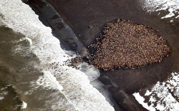 35,000 walruses come ashore in northwest Alaska due to lack of sea ice: http://t.co/e2HMw9BcDM via @washingtonpost :( http://t.co/iKgfZXxC8y
