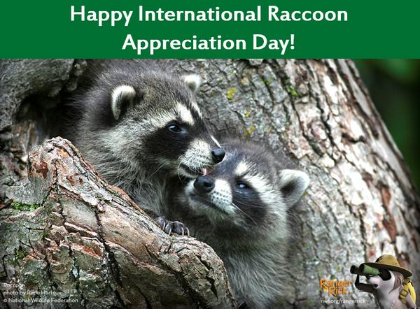 Image result for international raccoon appreciation day