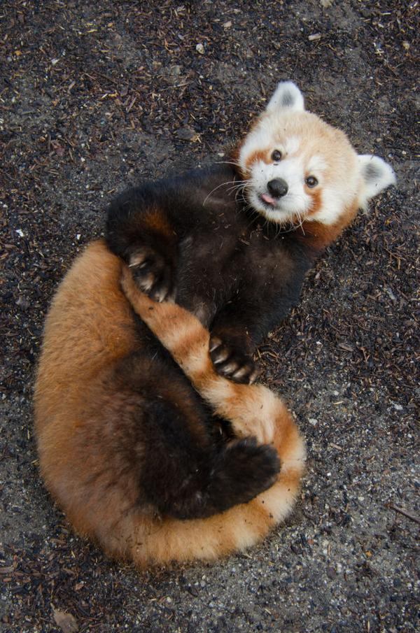 Red Panda Network On Twitter Shoutout To Tenzing Sfzoo Hows