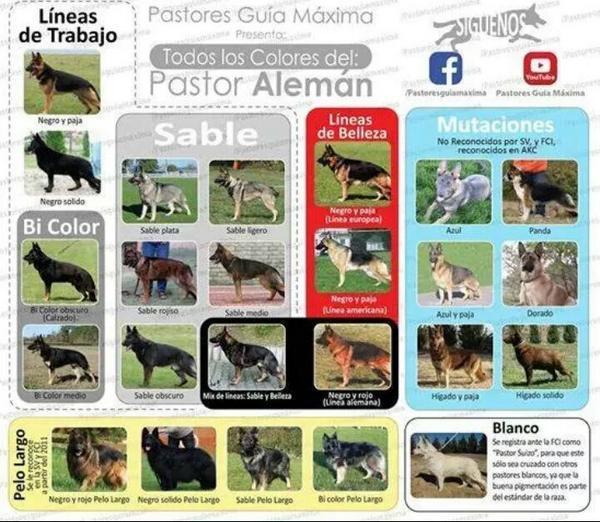 Tipos de pastor aleman ByD9UcbIUAAL_Lg