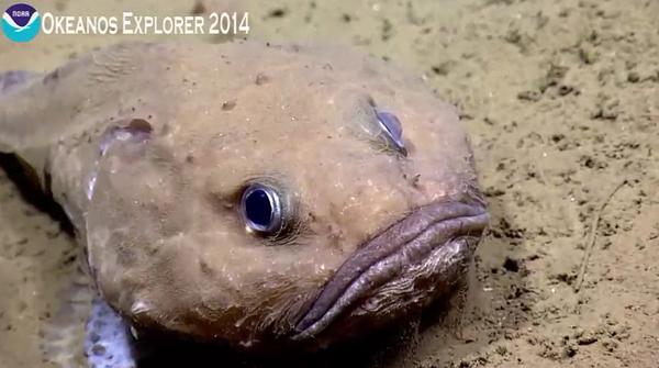 Grumpy fish sighting fathead fish related to blob fish for Ocean explorer fishing