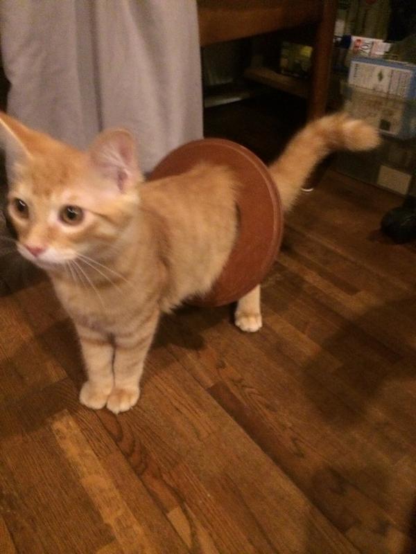ゴミ箱にビニール袋丸めて捨てたら子猫が追っかけていって、ゴミ箱に体を突っ込んでゲットして、誇らしげにゴミ箱のフタを体に引っ掛けてこの顔である。 pic.twitter.com/Ym6yUHoT8n